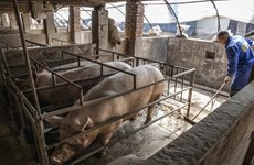 African swine fever spreads in Indonesia