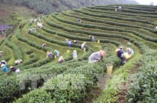 Thai Nguyen festival honours tea processing industry