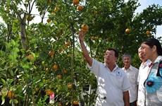Pink mandarin yield for Tet falls dramatically