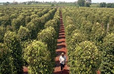 Quality key to pepper growth, not quantity