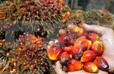 Indonesia's biodiesel thirst may weaken palm oil exports