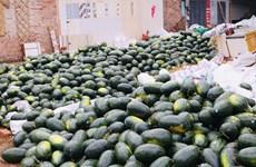 Qatari Embassy supports Vietnamese watermelon farmers
