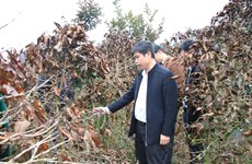 Hoar frost damages crops in Lam Dong province
