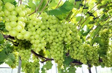 Vietnam becomes largest grape importer of RoK
