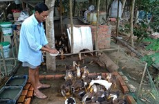 Tra Vinh: nearly 1,000 A/H5N1-infected poultry culled