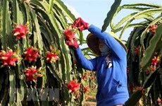 Vietnam's red flesh dragon fruit shipped to Australia