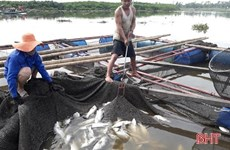 Ha Tinh's cage fish farmers restore production