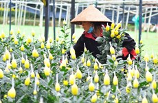 Lam Dong province sees sharp increase in flower export