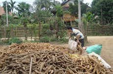 Vietnam sees cassava export reduction in two months