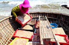 Quang Nam fishermen enjoy bumper shrimp season