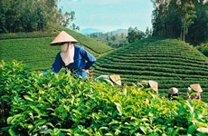 Tea exports fall in Q1 due to COVID-19