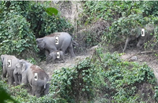 Herd of endangered elephants found in Quang Nam