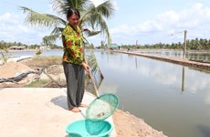Ben Tre province giant river prawn farms hit by saltwater intrusion