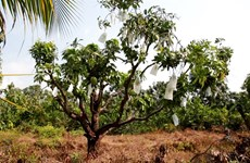 VietGAP mango fetches high incomes for farmers in Kien Giang