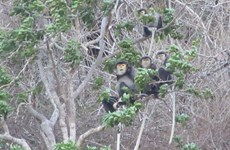 Black shanked douc langurs found in Ninh Thuan