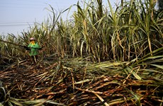 Thailand's sugar industry affected by drought