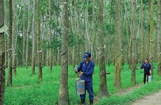 Asset sales bring profits to natural rubber firms, not their farms