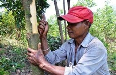 Tra Bong district cinnamon farmers happy with bumper crop
