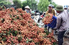 Vietnam proposes solutions to Japan for export of lychee