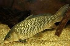 Vietnamese, Russian scientists find new strain of common carp