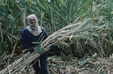 Thailand: Sugar makers warn of output cut due to drought