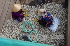 Tra Vinh to expand clam farming areas