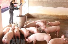 Vietnam imports pigs from Thailand