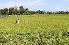 Tra Vinh farmers expand organic rice areas