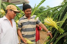 In climate change-hit Tien Giang, rice farmers switch to fruits, vegetables