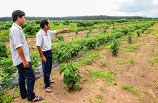 Coffee farms see high yields from new plants