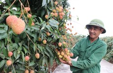 "Bac Giang enjoys early harvest of ""thieu"" lychee"