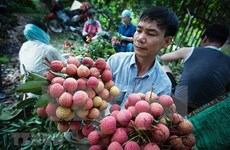 Over 50 businesses, cooperatives join sales of Bac Giang lychee