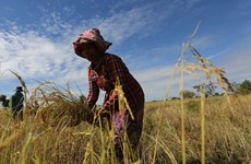 Cambodian agriculture unlikely to absorb laid-off workers: WB