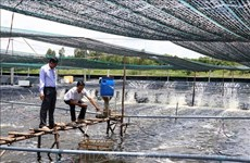 Shrimp sector in Ca Mau province bounces back