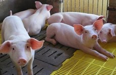 Eight Vietnamese businesses eligible to import pigs from Thailand