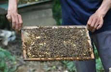 Beekeeping in Ca Mau recognised as national intangible heritage