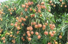 "Vietnamese ""Golden Lychee"" arrives in Australia"