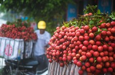 First batches of Vietnamese lychee arrive in Japan
