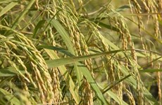 Thailand boosts rice production strategy
