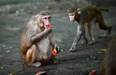 Thailand continues testing COVID-19 vaccine on monkeys