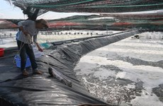 Farmers in Ba Ria-Vung Tau earn high profits thanks to high-tech shrimp breeding