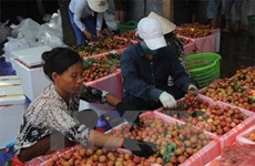 Fruit exports via Lao Cai border gate rising