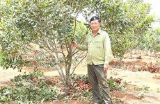 Gia Lai  province to expand macadamia cultivation
