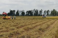 Bac Lieu expands cultivation of world's best rice varieties