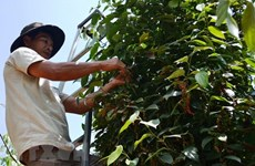 Pepper export volume down 5.7 percent in first half