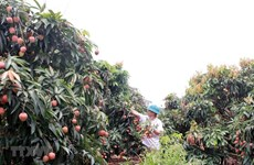 Bac Giang earns 300 million USD from lychee this year