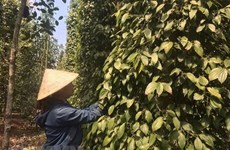 Pepper export turnover hits 385 million USD by mid-July