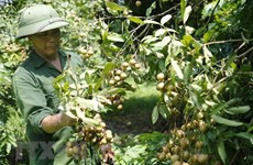 Vietnam works to boost longan exports to China