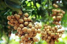 Dozens of tonnes of Vietnamese longan enter Australia over past few weeks