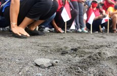 Indonesia releases over 10,000 baby turtles into sea